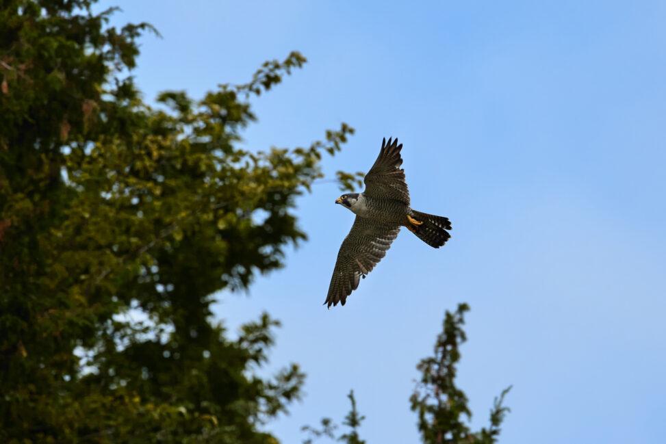 ハヤブサの飛翔の写真