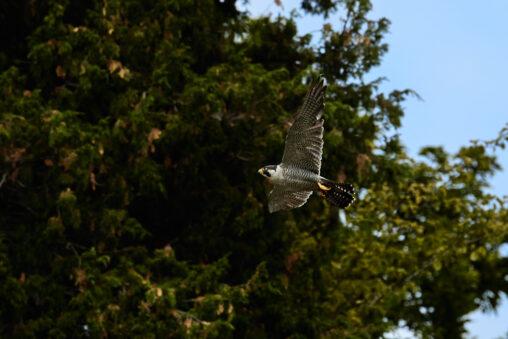 ハヤブサの飛翔_2の写真