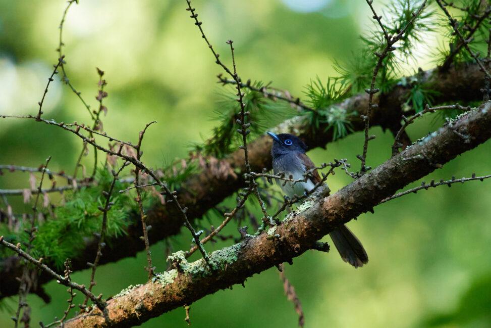 枝にとまるサンコウチョウのメスの写真