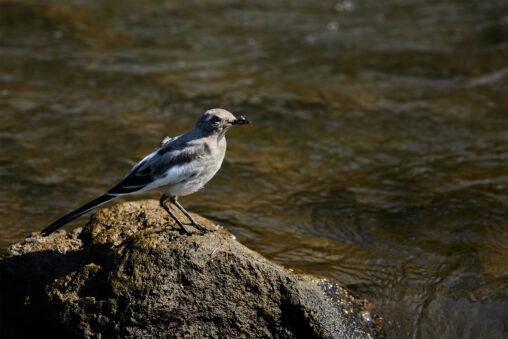 セグロセキレイの幼鳥の写真