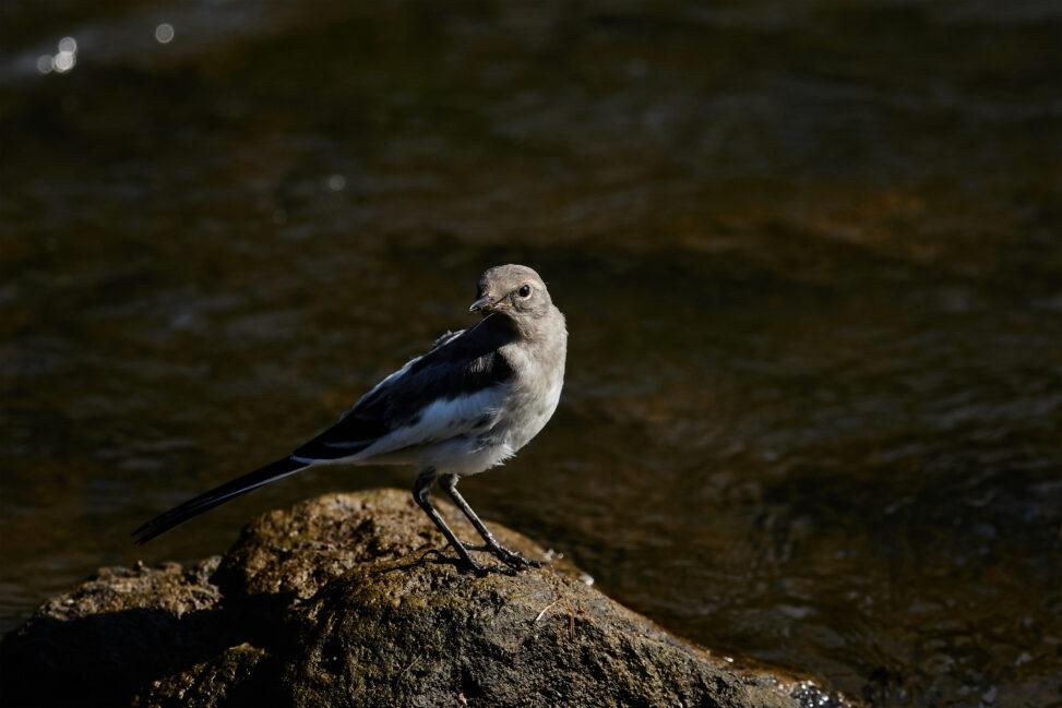 セグロセキレイの幼鳥_2の写真
