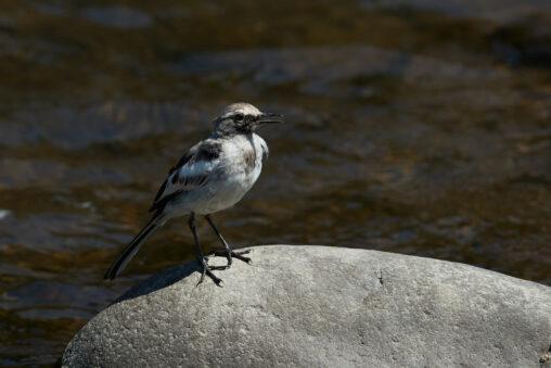 セグロセキレイの幼鳥_3の写真