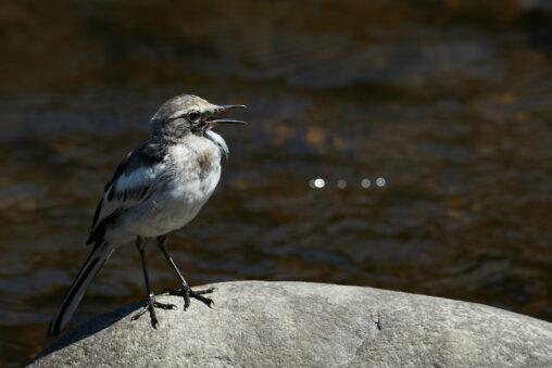 セグロセキレイの幼鳥_4の写真