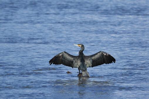 羽を広げるカワウの写真
