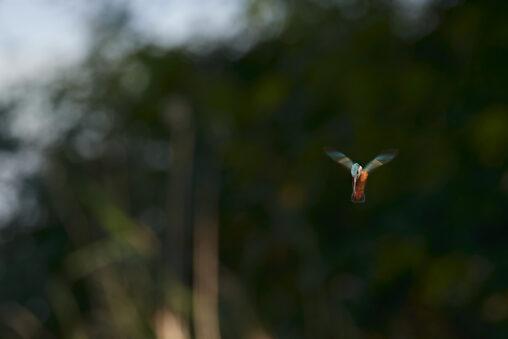 カワセミのホバリング_6の写真