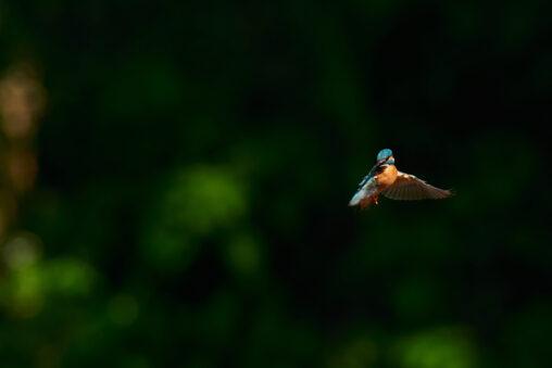 カワセミのホバリング_8の写真