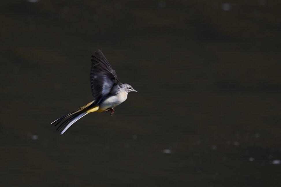 キセキレイの飛翔の写真