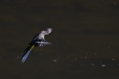 キセキレイの飛翔_2の写真