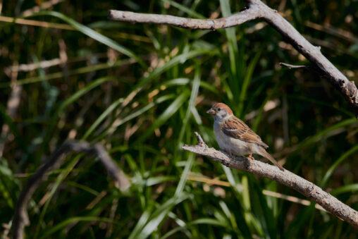 スズメの幼鳥の写真