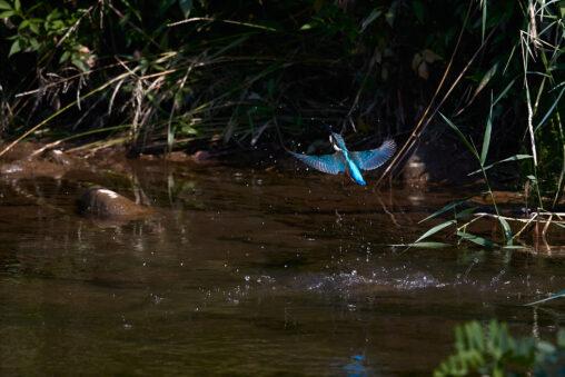 カワセミの離水_6の写真