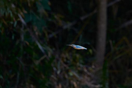 カワセミの飛翔_3の写真