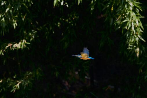 カワセミの飛翔_4の写真