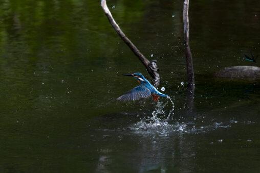 川辺のカワセミ/離水_2の写真