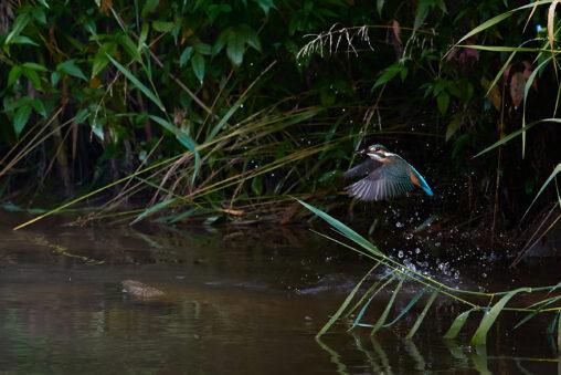 カワセミの幼鳥の捕食の写真
