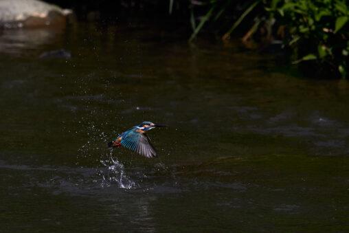 川辺のカワセミ/離水_3の写真