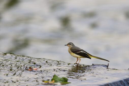 キセキレイの幼鳥の写真