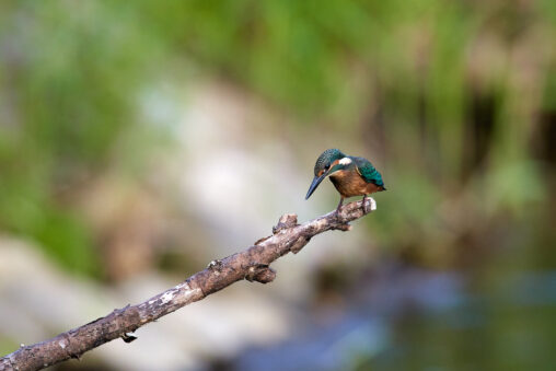 枝にとまっているカワセミの幼鳥の写真