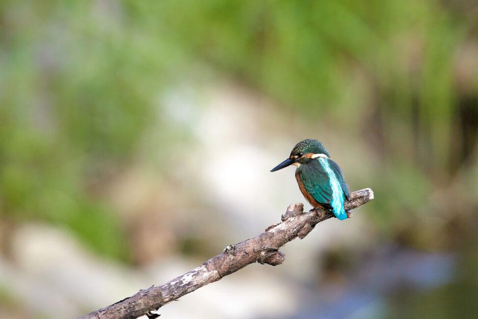 枝にとまっているカワセミの幼鳥_2の写真