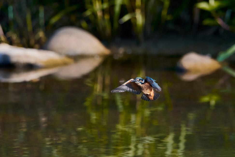 カワセミの幼鳥の飛翔の写真