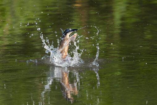 水面から出てくるカワセミの幼鳥/瞬膜の写真