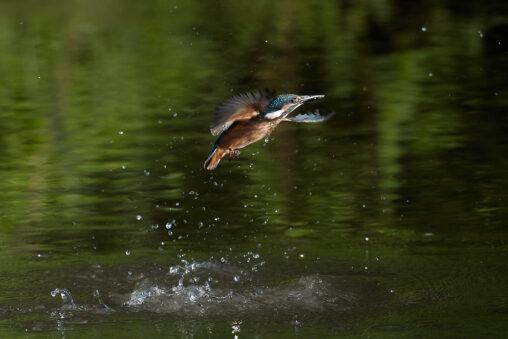 カワセミの幼鳥/離水の写真