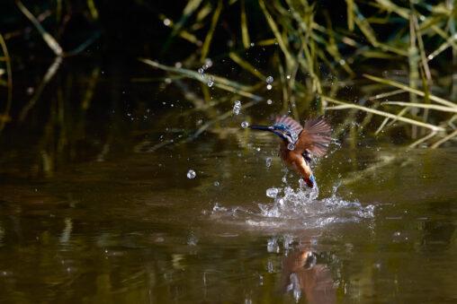 カワセミの幼鳥/離水_2の写真