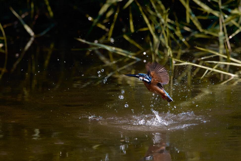 カワセミの幼鳥/離水_3の写真