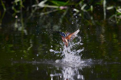 カワセミの離水_7の写真