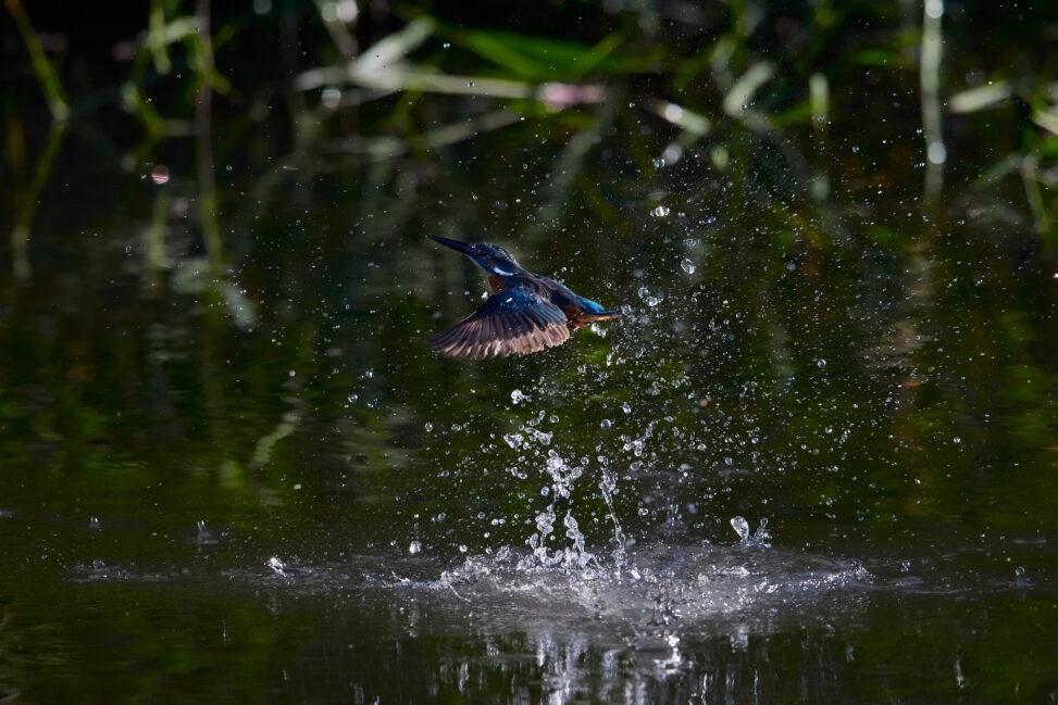 カワセミの離水_8の写真