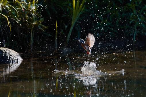 カワセミ/水面からの浮上/離水の写真