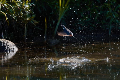 カワセミ/水面からの浮上/離水_2の写真