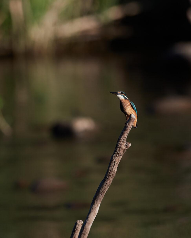 カワセミの幼鳥_2の写真