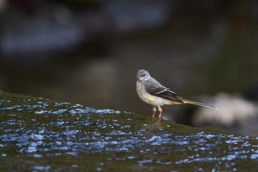 キセキレイの幼鳥_2の写真