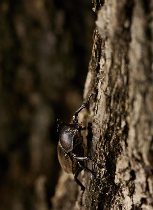 角が小さいカブトムシ_2の写真