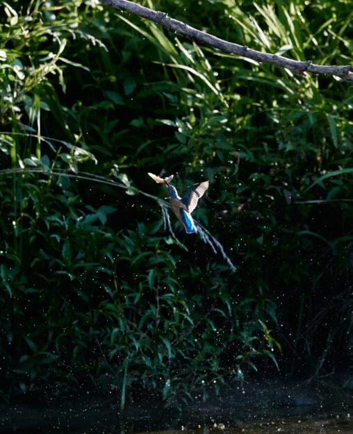 カワセミの幼鳥の捕食_2の写真