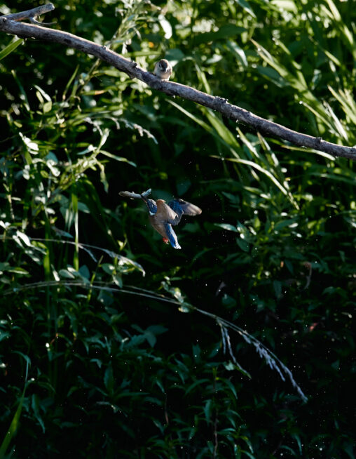 カワセミの幼鳥の捕食とスズメ(雀)の写真