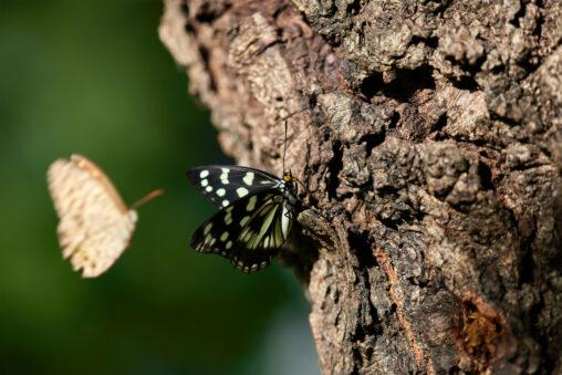 樹木にとまってるゴマダラチョウの写真