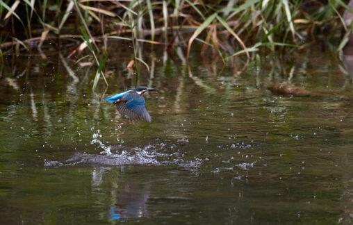 カワセミ/水面からの浮上/離水_3の写真