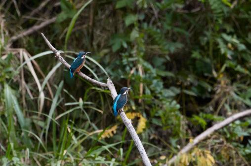 二羽のカワセミの幼鳥の写真