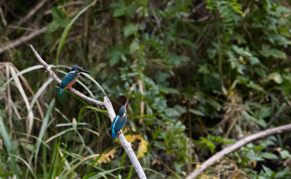 二羽のカワセミの幼鳥_2の写真
