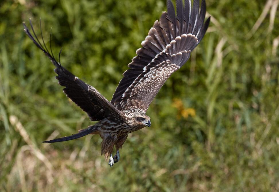 トンビ/トビ/鳶の幼鳥の飛翔の写真