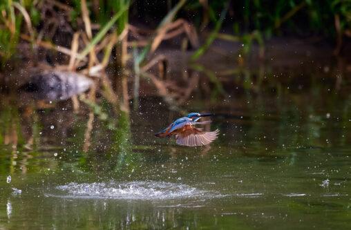 カワセミ/水面からの浮上/離水_5の写真