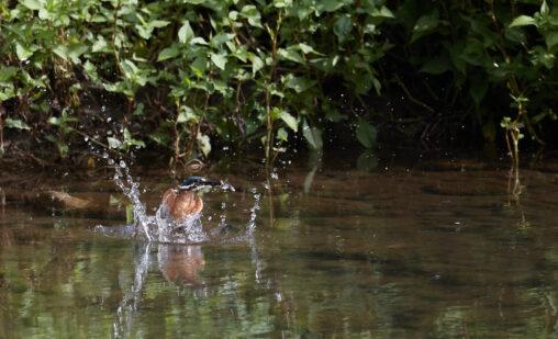 カワセミの幼鳥の捕食_3の写真