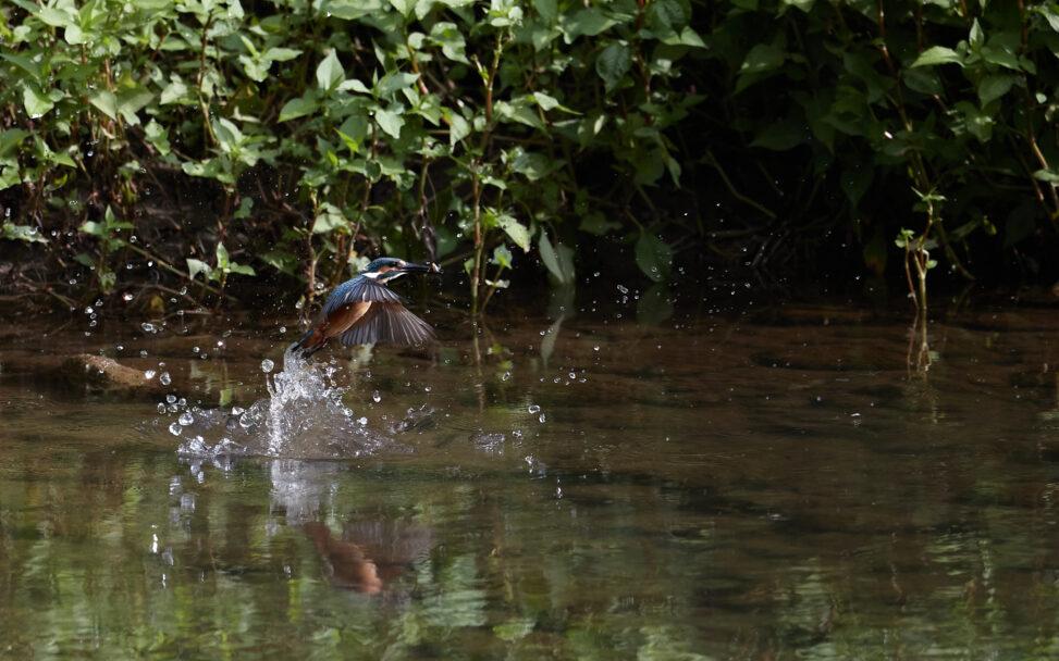 カワセミの幼鳥の捕食_4の写真