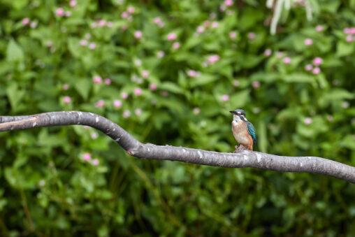 カワセミの幼鳥とグリーン背景の写真
