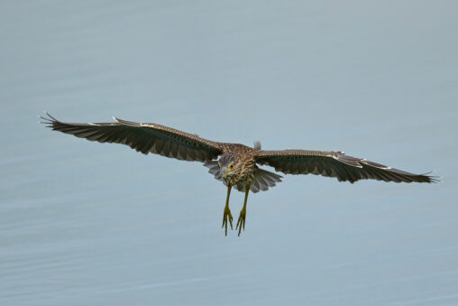 ホシゴイの飛翔/ゴイサギ幼鳥の写真