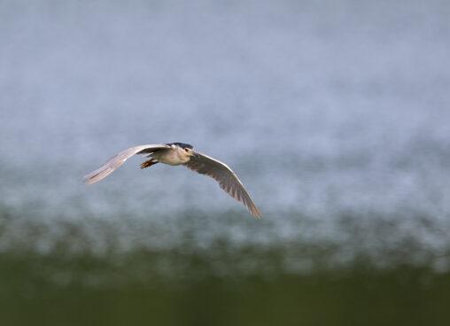 ゴイサギの飛翔の写真