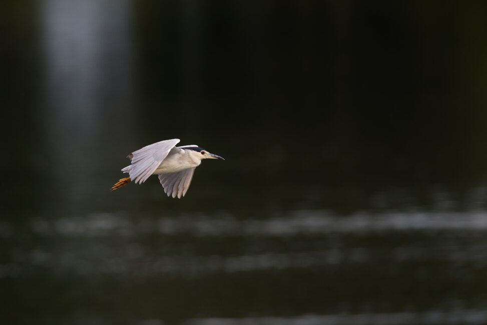 ゴイサギの飛翔_2の写真