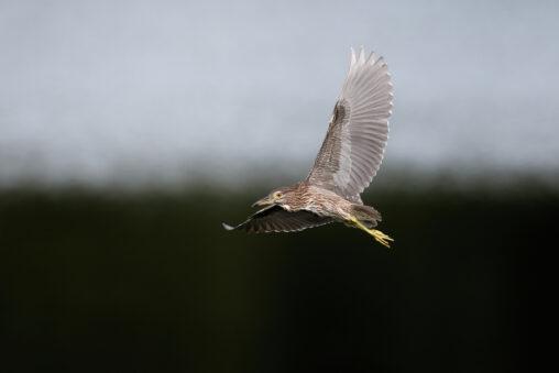 ホシゴイの飛翔/ゴイサギ幼鳥_2の写真