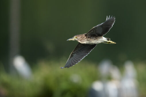ホシゴイの飛翔/ゴイサギ幼鳥_3の写真